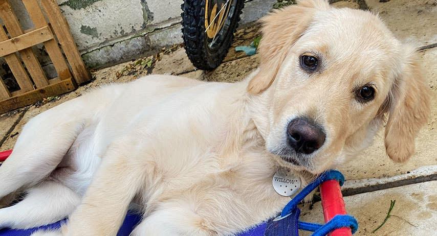 Meet 'Willow the Wonder Dog'!